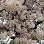 桜にまつわる古人の歌(1)。桜のもとで逝きたいと言った西行法師の願いはかなったのか?